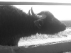 La Signora bufala