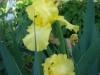 Giallo iris