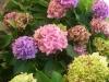 Ortensie: cinquanta sfumature di rosa