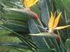 Nota come Uccello del paradiso...