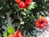 L\'ibisco: fugace bellezza